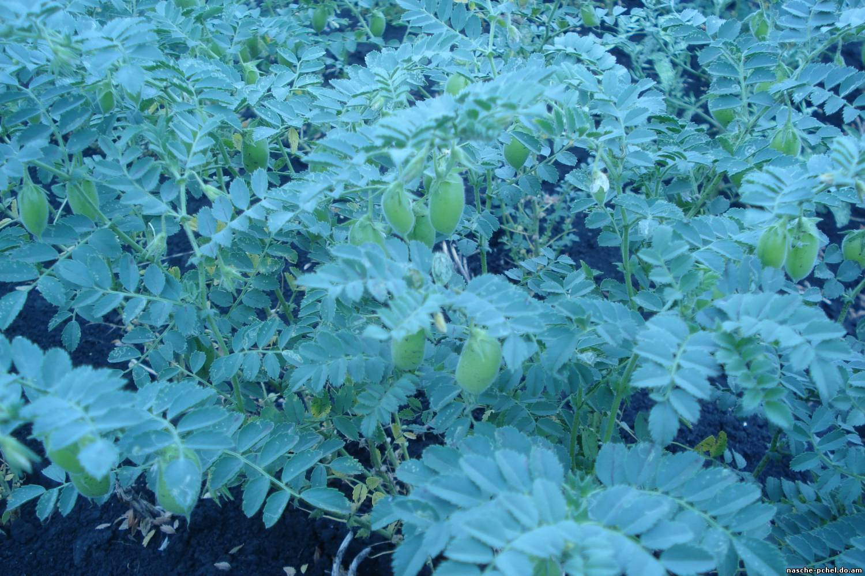 Выращивание чечевицы в россии 54